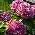 Cool purple hydrangea