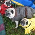 Three lovely Tennessee pugs