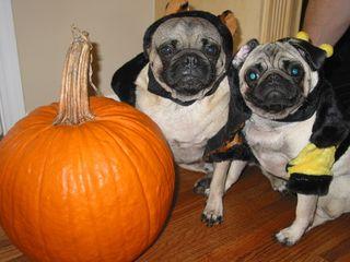 Halloweenpugs