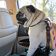 PugCarSeat_3