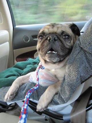 Introducing     TBD Pug  Our joyful adoption day! - Erin Shaw Street